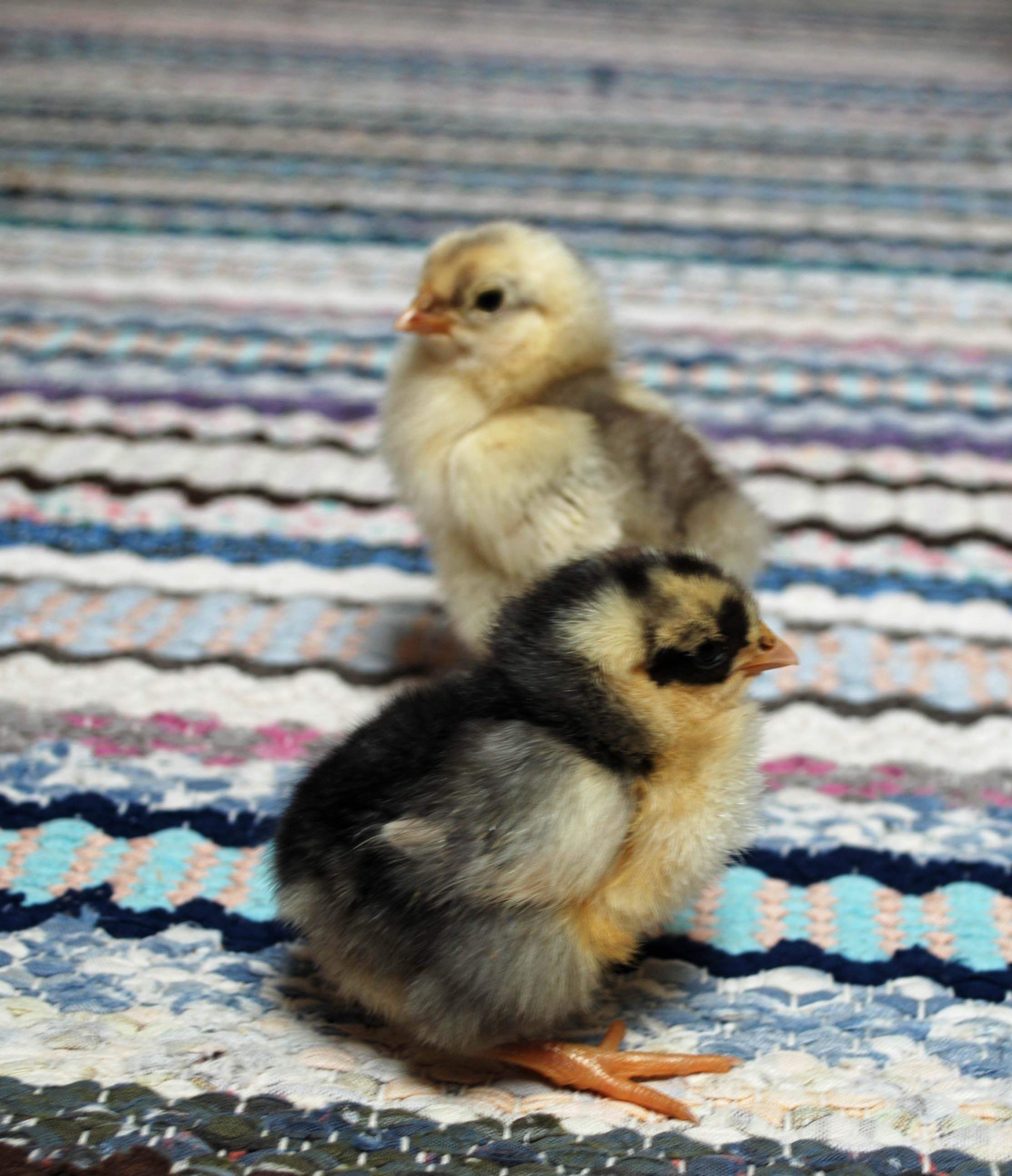 kyckling4