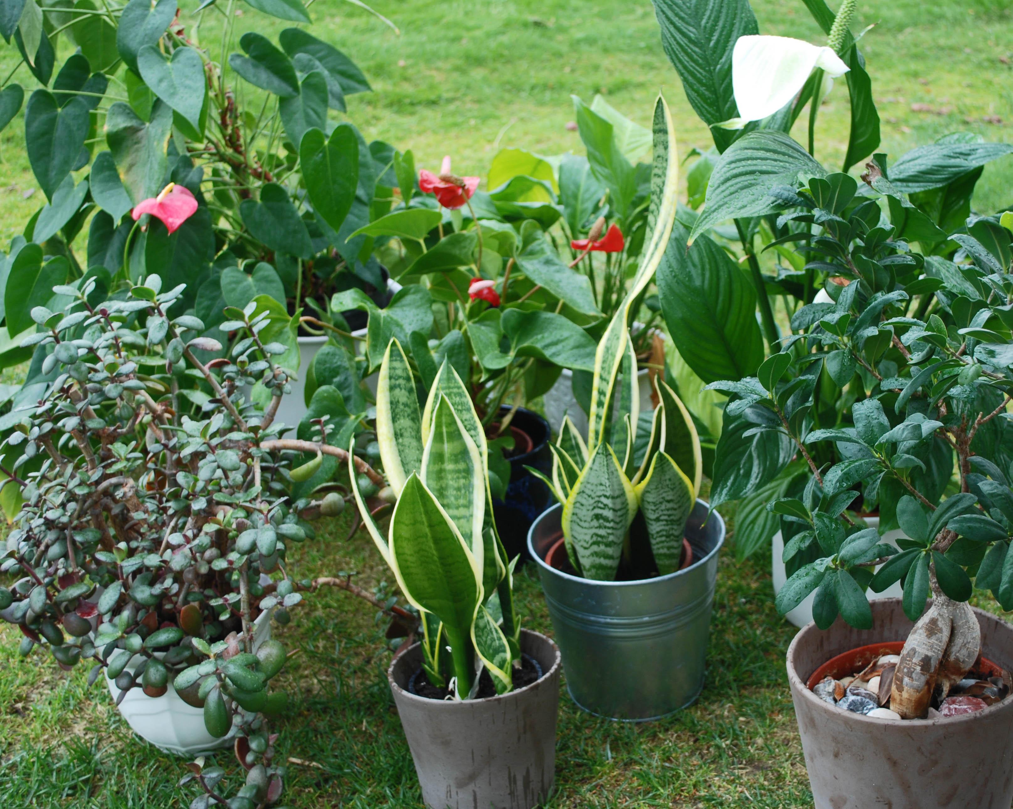 luftrenandeväxter
