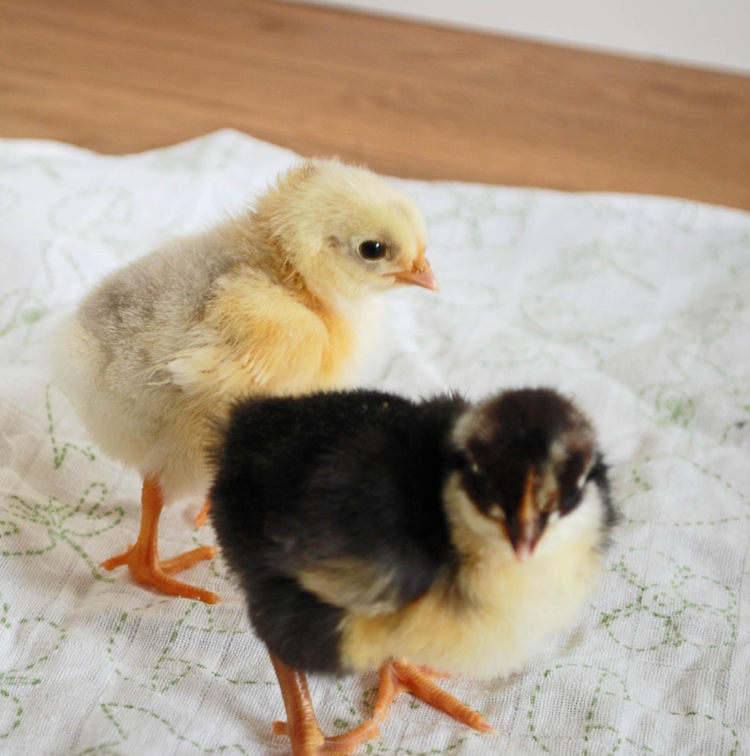 kycklingar2